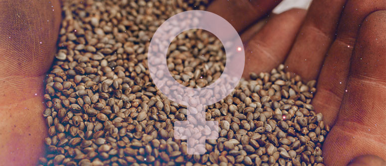 How to make your own feminized cannabis seeds