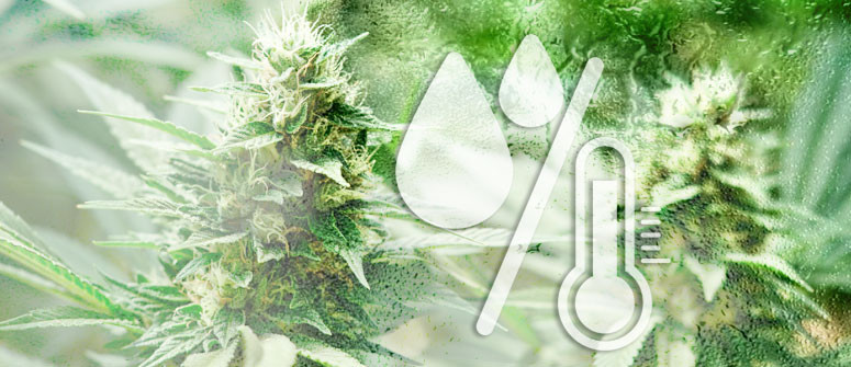 The ideal humidity levels for growing cannabis