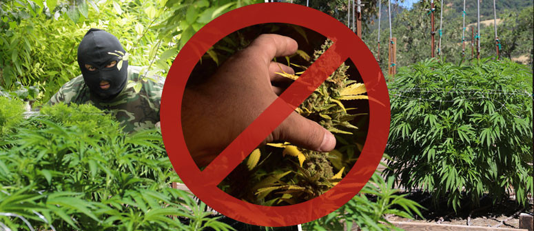 4 tips to protect your cannabis garden from thieves