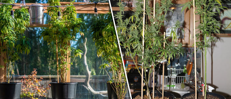 How to avoid stretching cannabis plants