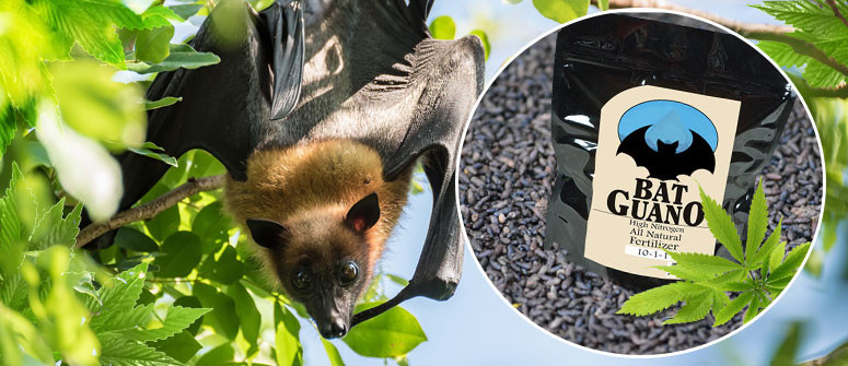 Growing cannabis with Bat guano
