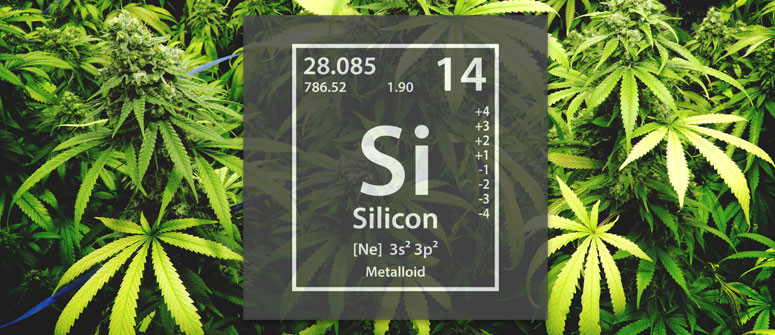 Growing cannabis and the use of silicon