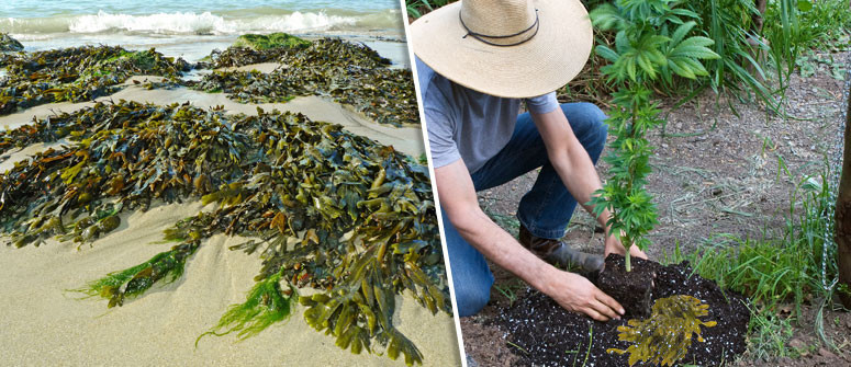 The uses of seaweed as a supplement