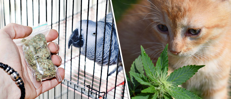 Can your pets benefit from medical marijuana?
