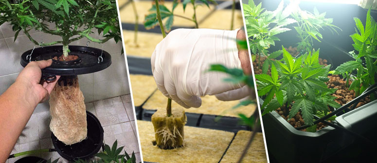 Advantages and disadvantages of growing marijuana using hydroponics