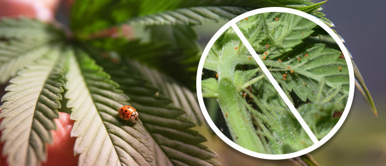 Using Ladybugs to protect your cannabis garden