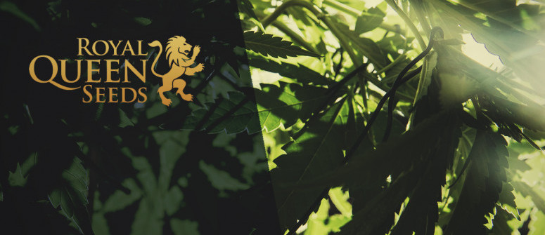 Royal Queen Seeds Review – A Major European Seedbank