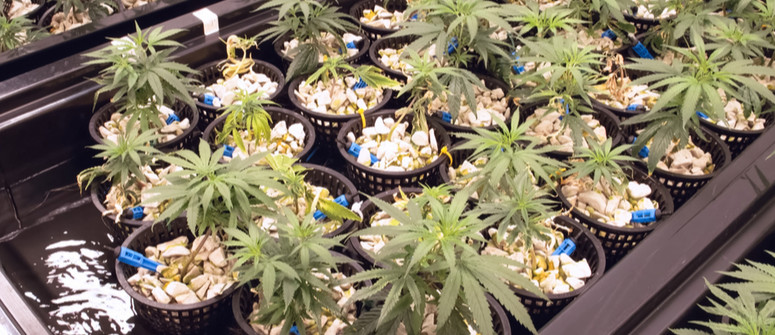How To Grow Hydroponic Cannabis: A Beginner's Guide