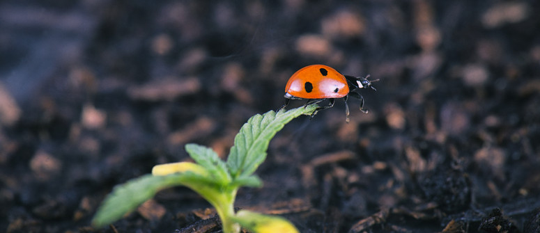 The best insects for your cannabis grow