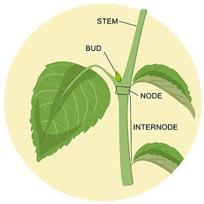 ¿qué son los nudos y los entrenudos de las plantas de cannabis?
