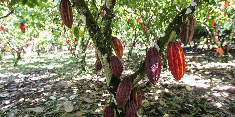 Chocolate (cocoa tree)