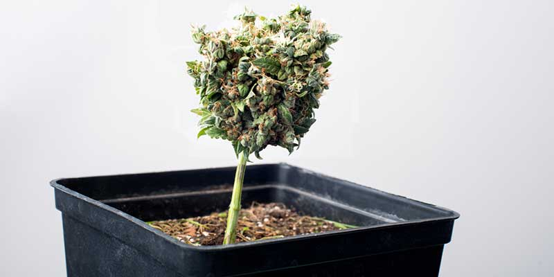 Autoflowering strains: all smell, no punch?