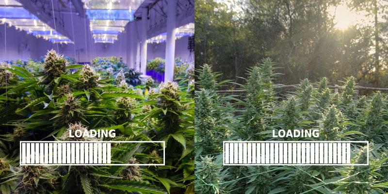 Indoor vs. outdoor grows
